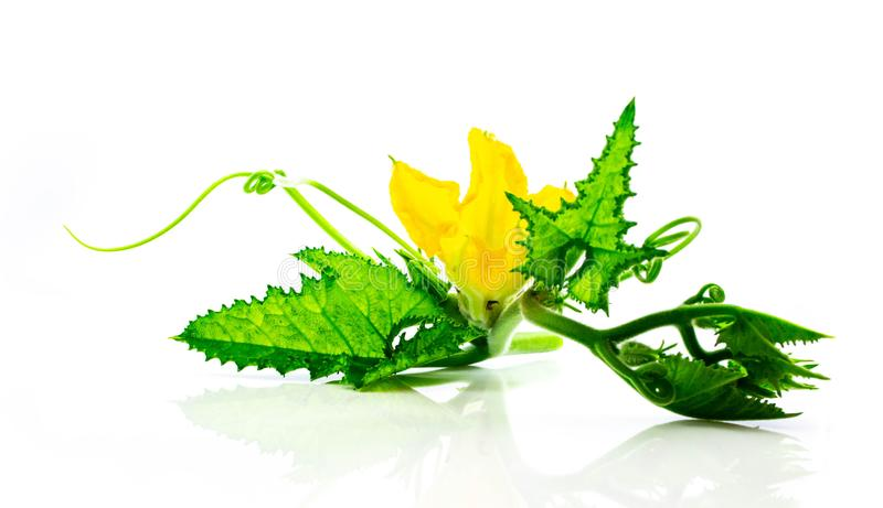 南瓜开花,在白色背景隔绝的叶子 库存图片