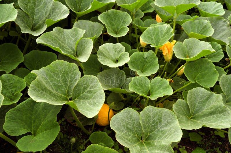 南瓜植物在有机菜园里。 免版税库存图片
