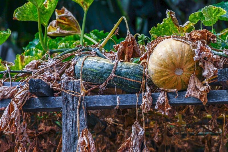 南瓜种植,有机蔬菜和自然 免版税库存图片