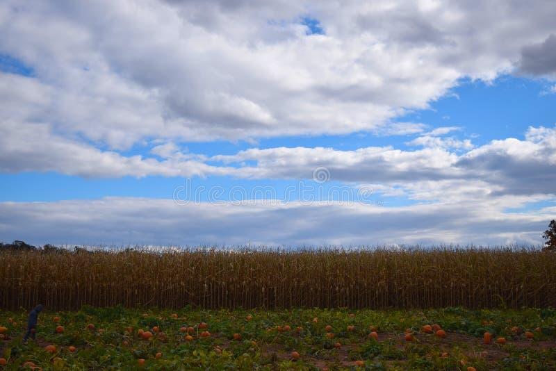 南瓜补丁和麦地 库存图片