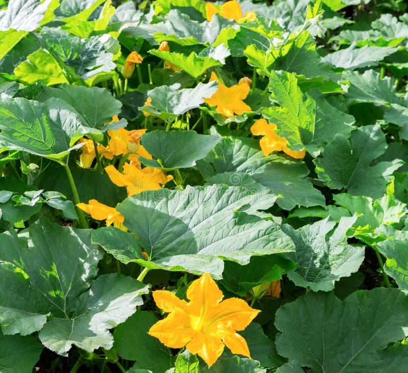 南瓜,南瓜植物 南瓜,绿皮胡瓜,南瓜,与绿色叶子开花的南瓜黄色花 作为a的菜 免版税库存图片