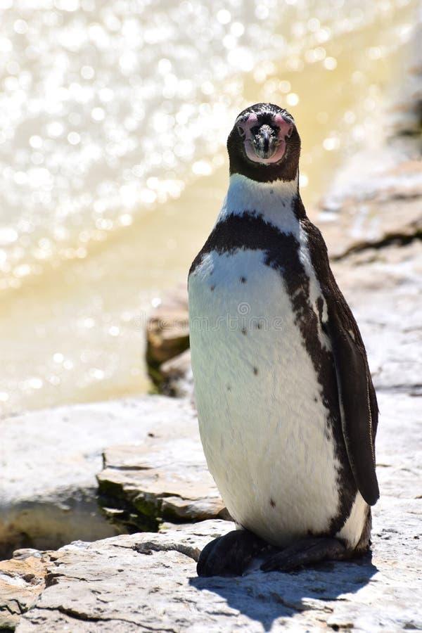 南美企鹅画象 免版税图库摄影