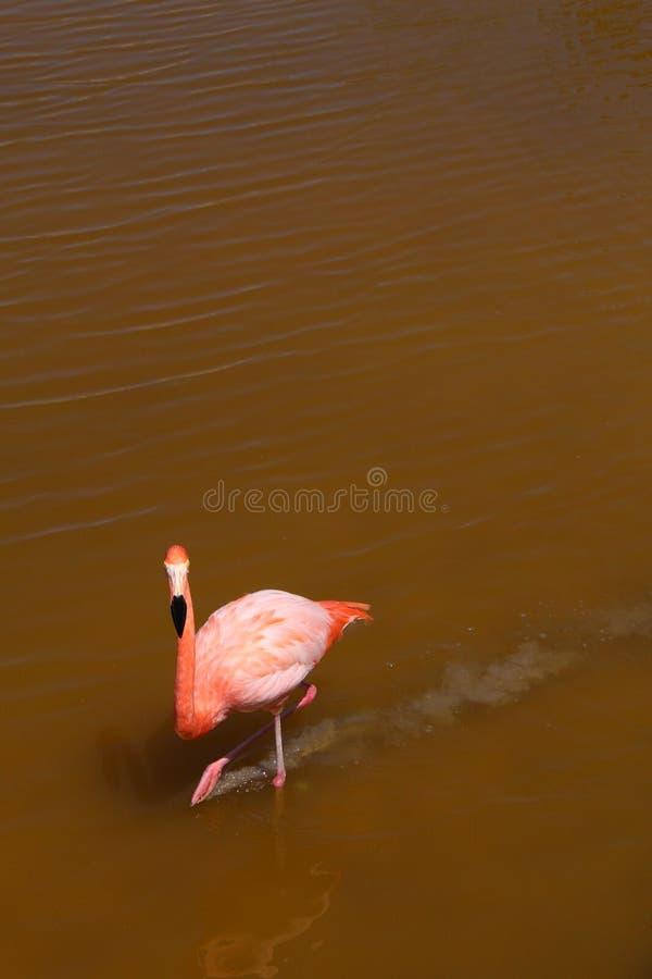 南美加拉帕戈斯桃红色鹈鹕鸟 免版税图库摄影