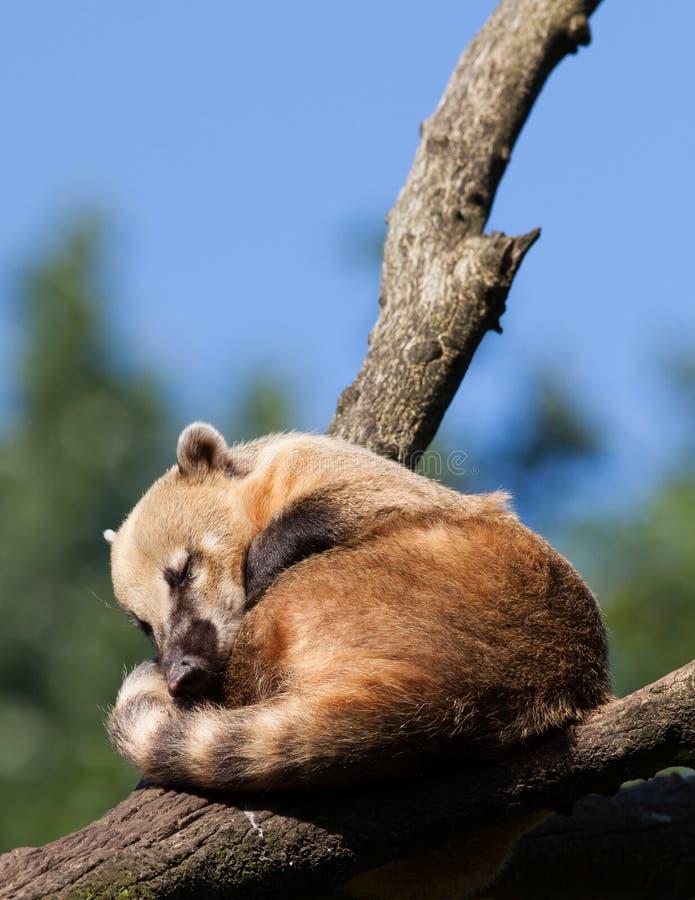 南美浣熊或尾部有环纹浣熊(美洲浣熊美洲浣熊)休息 免版税库存照片