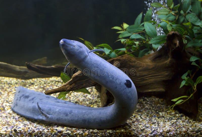 南美肺鱼 免版税库存图片