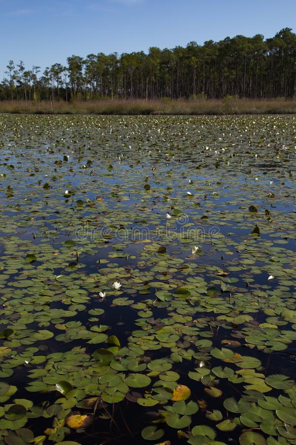 南路易斯安那沼泽沼泽地画象有水生waterlily植物池塘的  库存图片