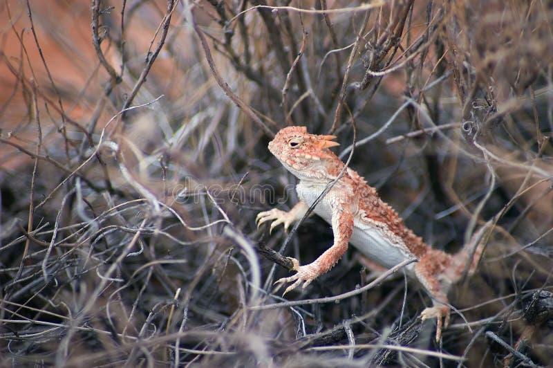 南部沙漠的有角的蜥蜴 免版税库存图片