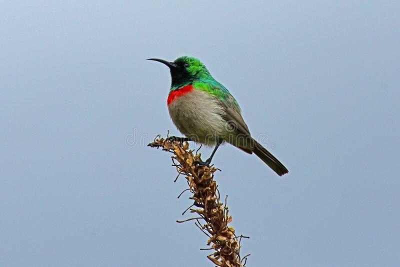 南部的二重抓住衣领口的sunbird,南非 库存图片