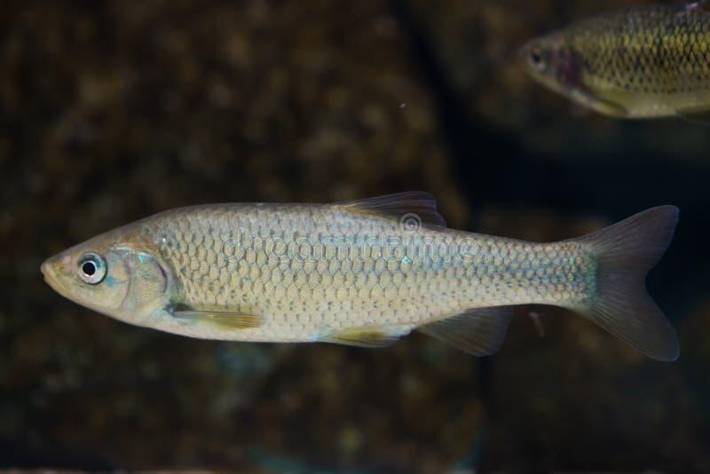 南部的利比亚淡水鳔形鱼Squalius pyrenaicus 免版税图库摄影
