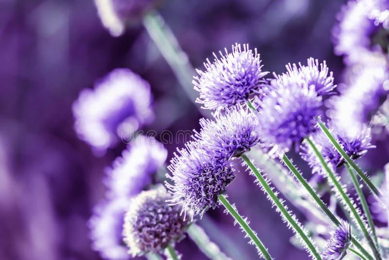 南部的地球蓟 生长在英国草甸的紫色野花 库存照片