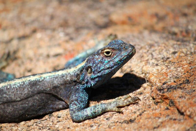 南部的岩石蜥蜴 库存图片