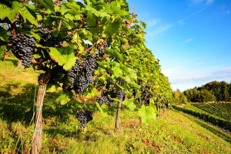 南部的施蒂里亚奥地利红葡萄酒:葡萄树在收获前的葡萄园里 免版税库存图片