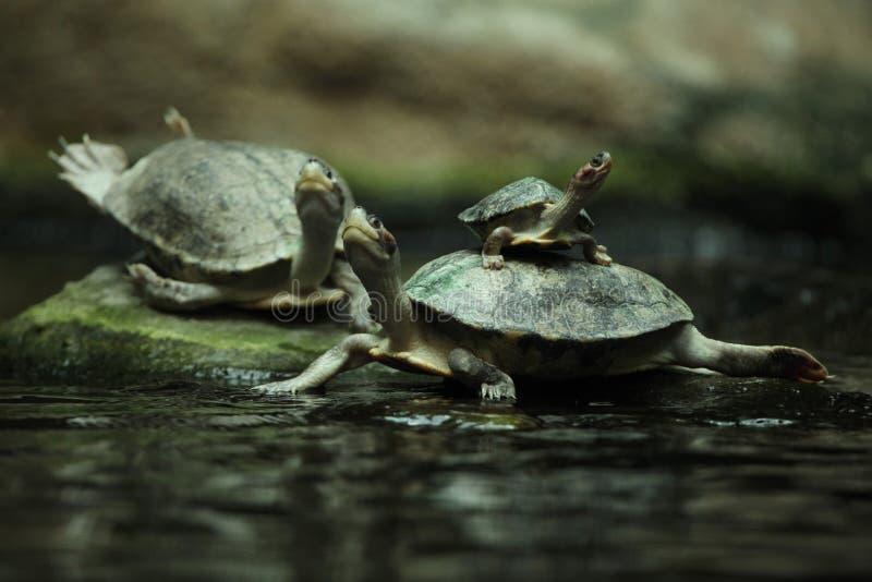 南部的河水龟(Batagur affinis) 免版税库存图片