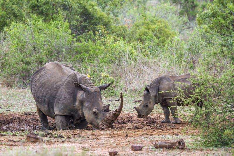 南部的白犀牛在克鲁格国家公园,南非 免版税库存照片