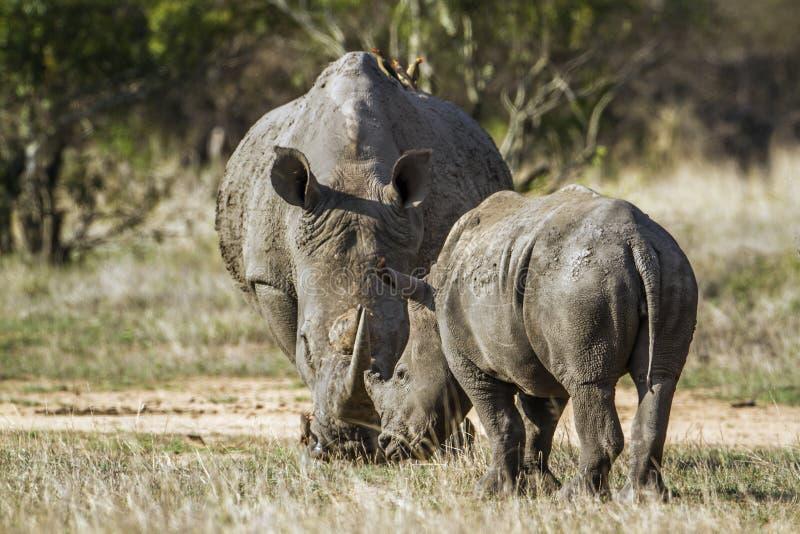 南部的白犀牛在克鲁格国家公园,南非 免版税库存图片