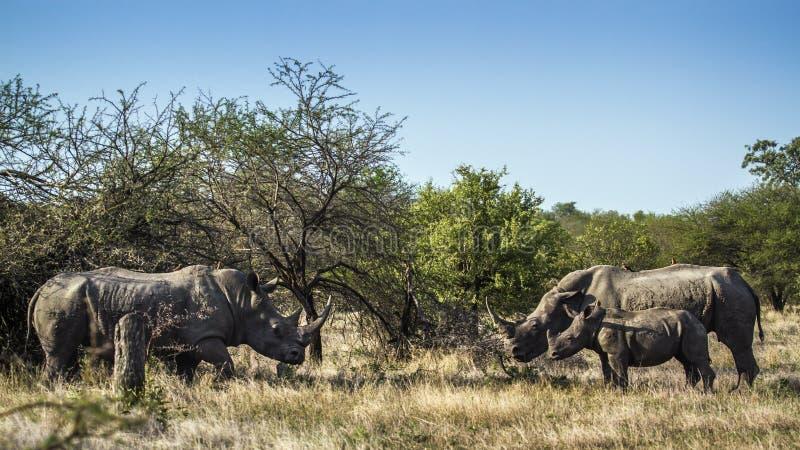 南部的白犀牛在克鲁格国家公园,南非 库存照片
