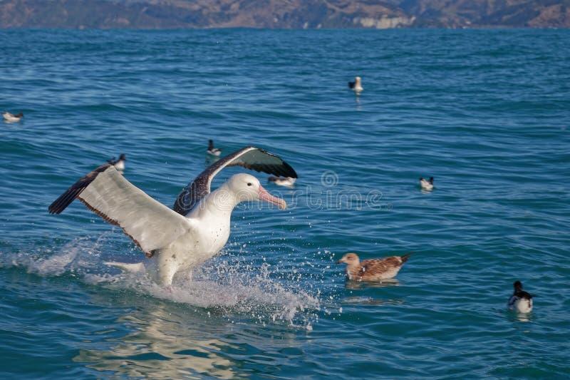 南部的皇家信天翁,登陆在海, Kaikoura,新西兰 免版税库存照片