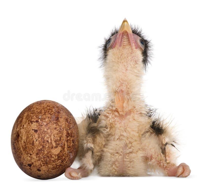 南部的长腿兀鹰, 12个小时年纪 库存照片