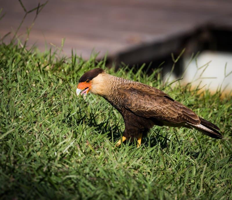 南部的长腿兀鹰 免版税库存图片