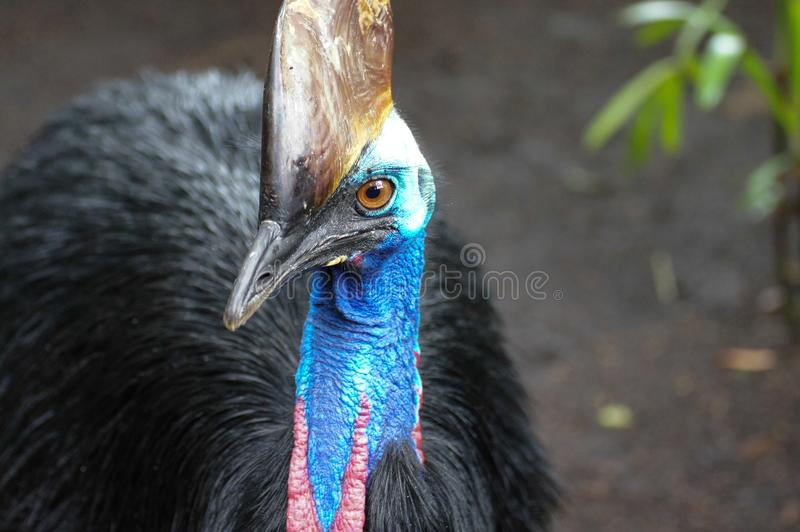 南部的食火鸡, Casuarius casuarius,亦称二重wattled食火鸡,澳大利亚大森林鸟,细节暗藏的portrai 库存照片