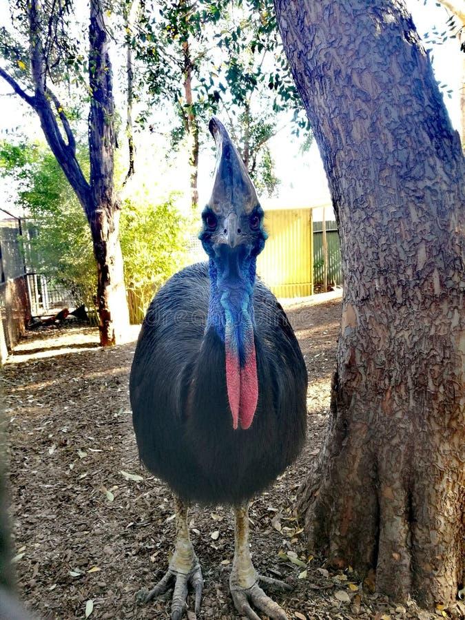 南部的食火鸡@ Featherdale狂放的公园 库存图片
