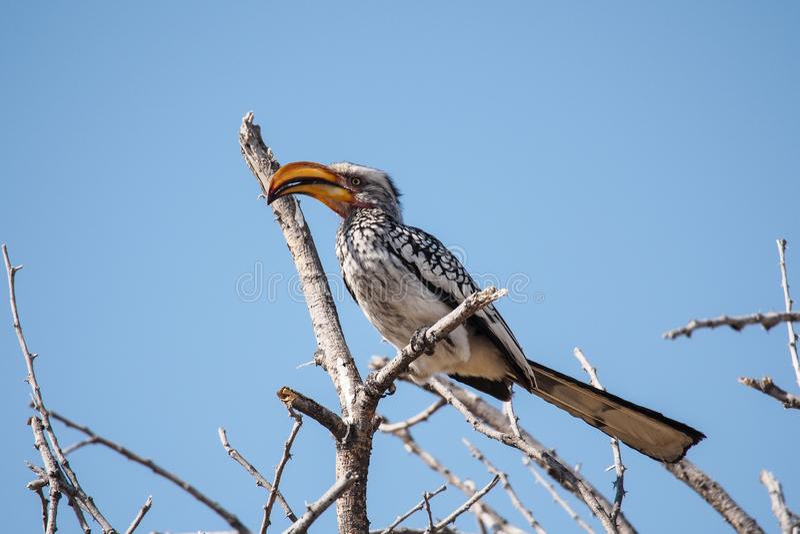 南部的黄色开帐单的犀鸟在Etosha国立公园,纳米比亚 免版税库存图片