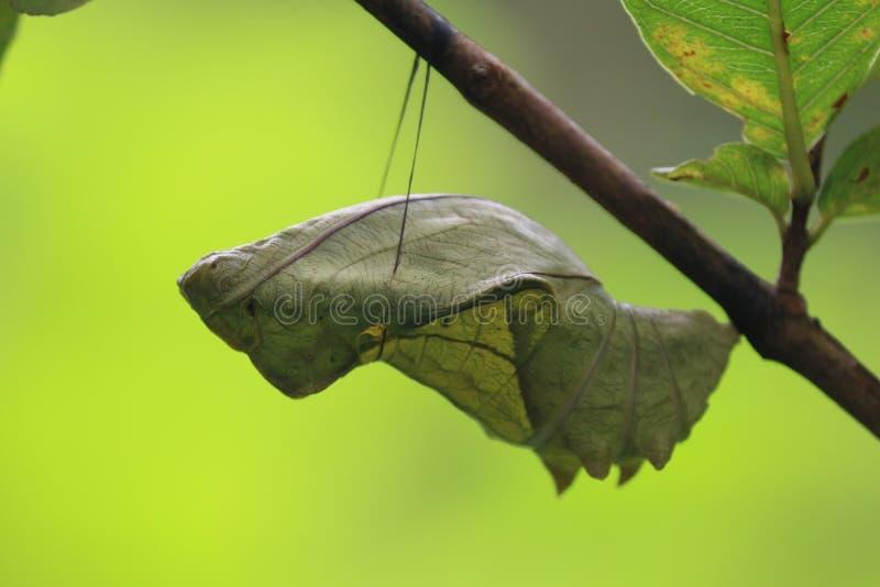 南部的Birdwing蛹的阶段 免版税库存照片