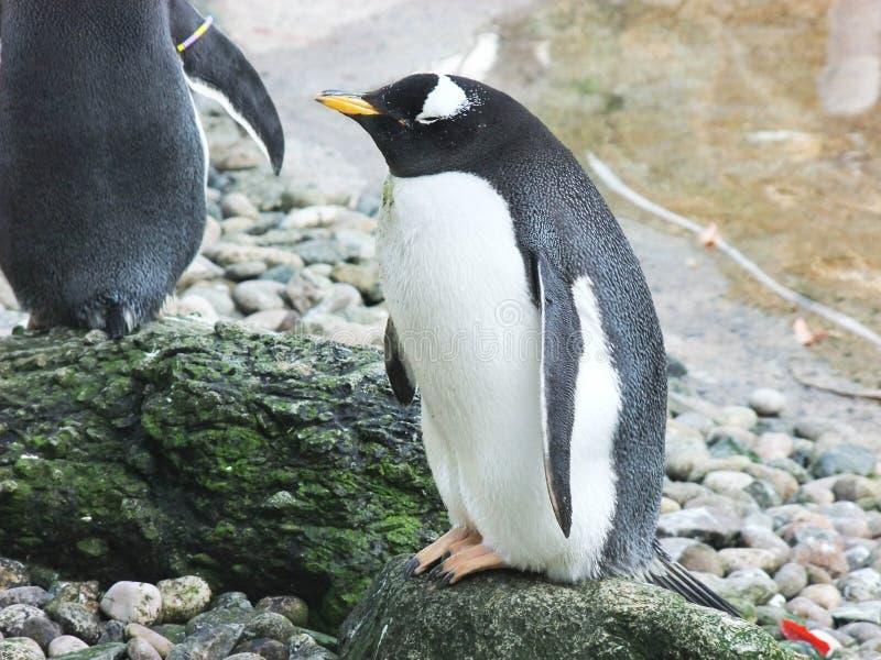 南部的rockhopper企鹅贝尔法斯特动物园 图库摄影