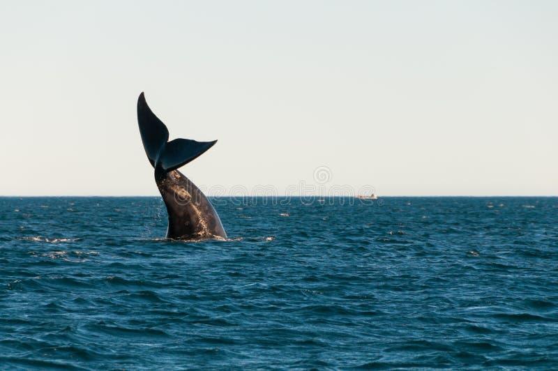 南部脊美鲸观看 库存照片