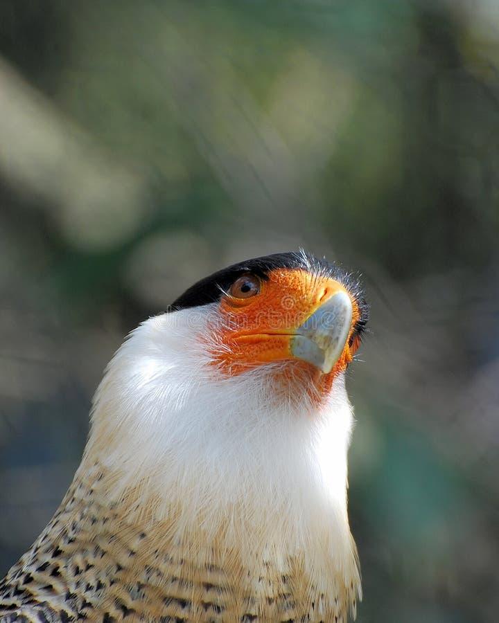 南部鸟的长腿兀鹰 库存图片