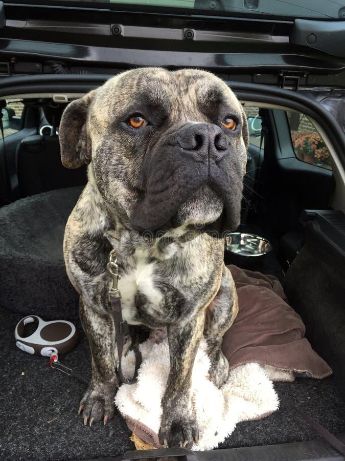 南非大型猛犬狗 免版税库存图片