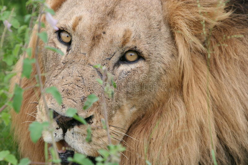 南非洲狮子的徒步旅行队 库存图片