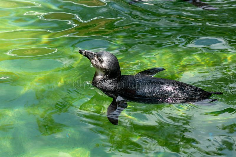 南非洲的企鹅 图库摄影