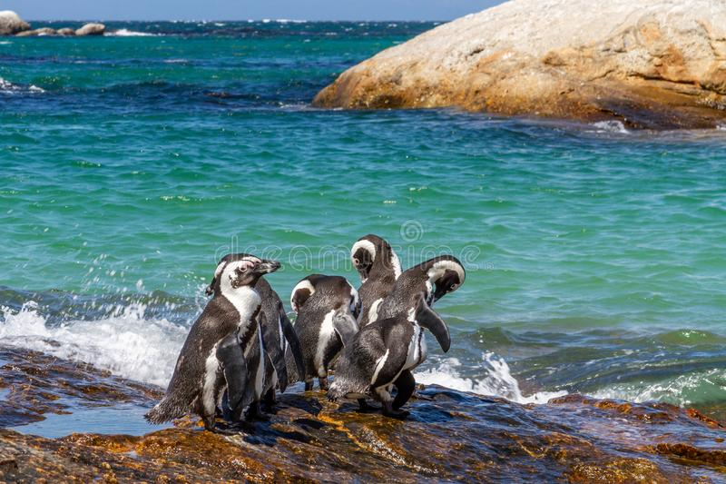 南非洲的企鹅 免版税图库摄影