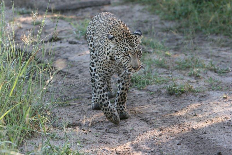 南非洲豹子的徒步旅行队 免版税库存照片