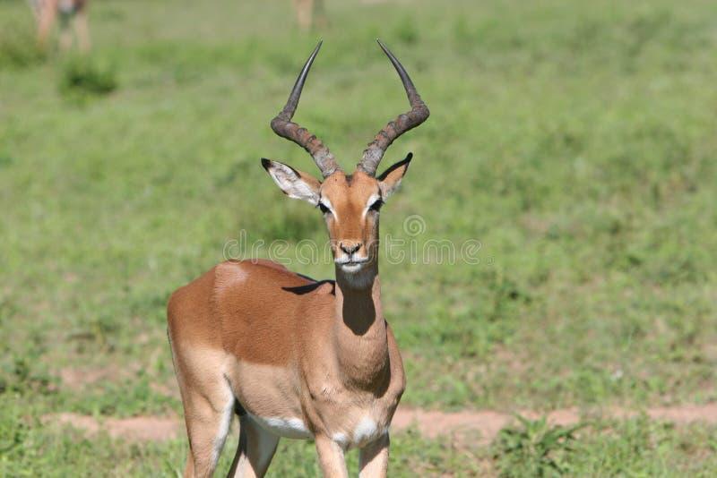 南非洲飞羚的徒步旅行队 图库摄影