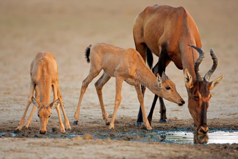 南非洲hartebeest kalahari的红色 免版税库存照片