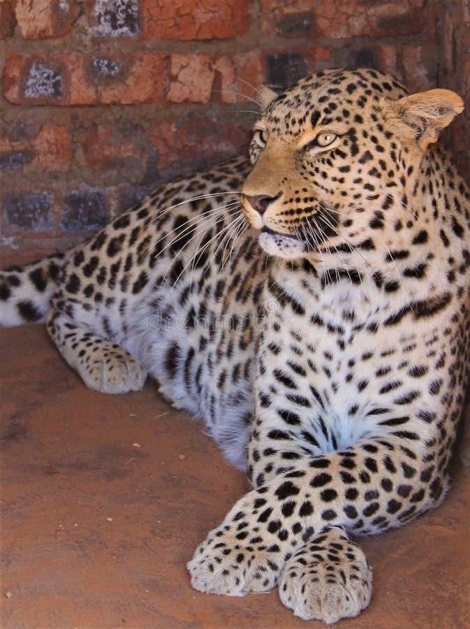 南非猎豹 库存照片