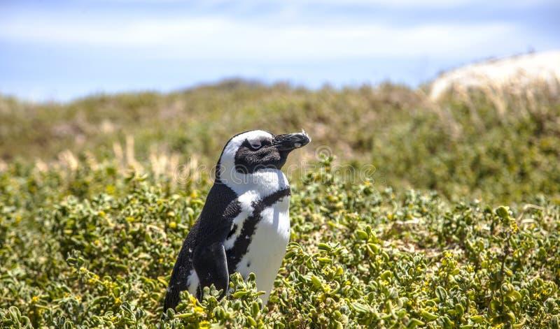 南非洲的企鹅 库存照片