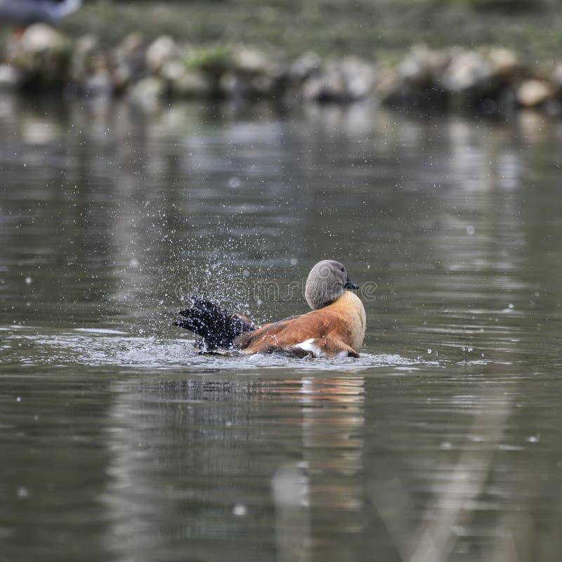 南非Shelduck鸟雄麻鸭类Cana o美丽的画象  图库摄影