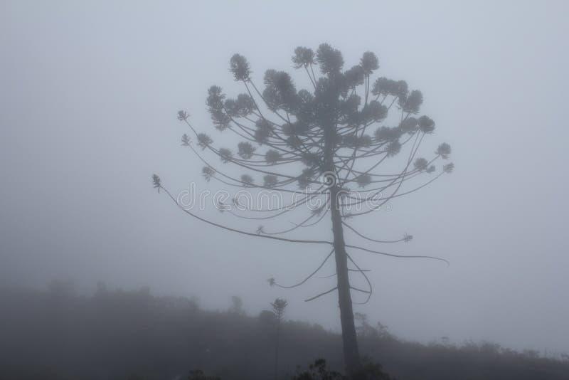 南洋杉杉木 库存图片