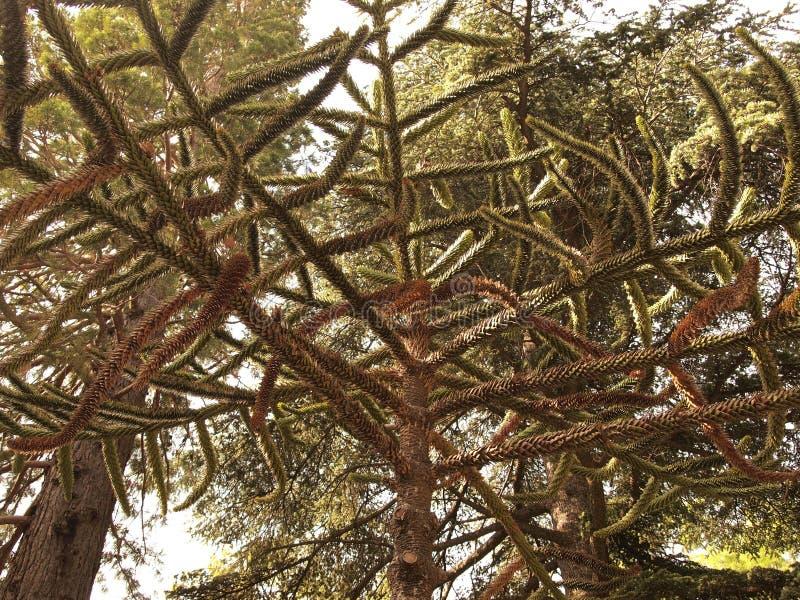 南洋杉,智利的全国树 免版税库存图片