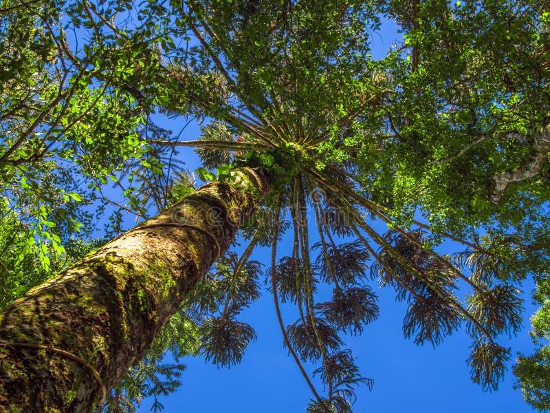 南洋杉 免版税库存图片