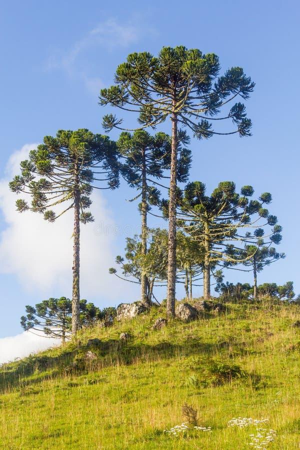 南洋杉angustifolia树 库存照片