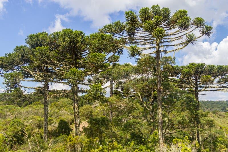 南洋杉Itaimbezinho峡谷的angustifolia森林 库存照片