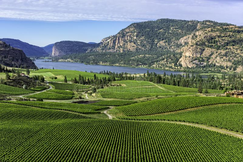 南Okanagan的葡萄园在Pentiction有Vaseux湖的不列颠哥伦比亚省加拿大附近在背景中 免版税库存照片