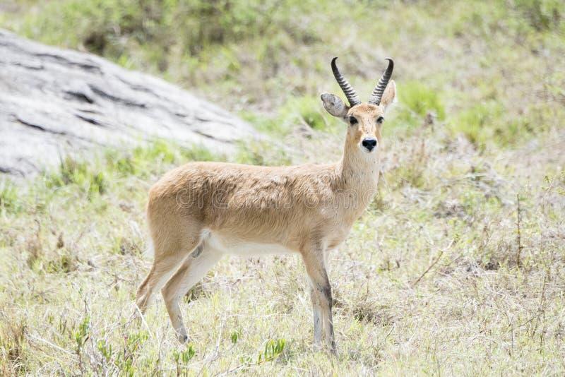 南Reedbuck站立在如毛刷栖所的Redunca 库存图片