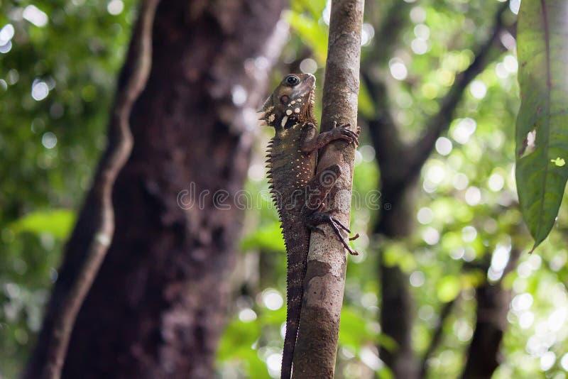 博伊德` s森林龙蜥蜴,莫斯曼峡谷,昆士兰, Australi 免版税库存图片