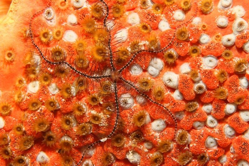 博内尔岛易碎的珊瑚星形 库存图片