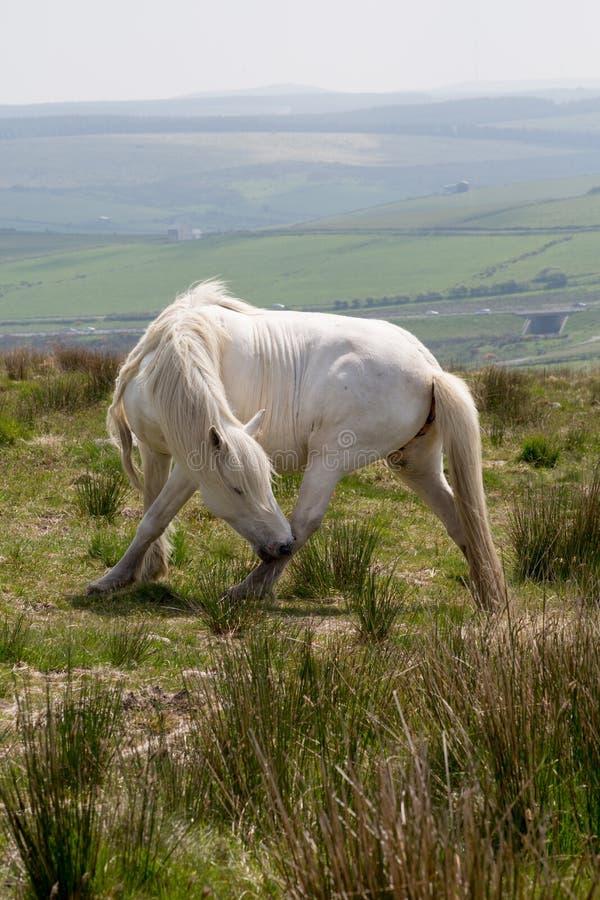 博德明停泊康沃尔郡英国英国小马 库存照片